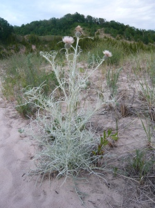 A pitcher's thistle, just one of many rare plant and animal species we can learn to protect in our area.