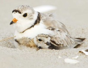 Piping plover parenting style
